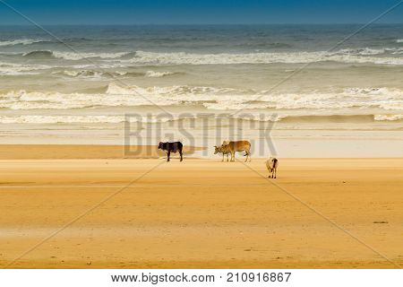 Tajpur sea beach - bay of Bengal India. View of cows roaming on beach sand with bay of Bengal in the background.