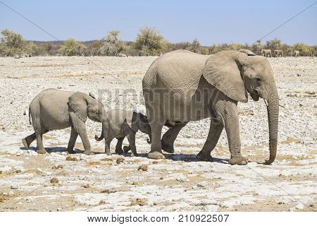sunny arid savannah scenery including a walking family of african bush elephants seen in Namibia