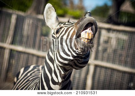 The zebra is showing his yellow teeth in camera funny animal.