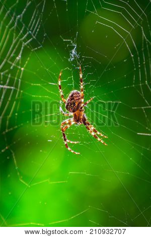 Spider on spider web with green background. Closeup of a brown spider isolated on green background. Spider on the spiderweb with blur green background. Spider close-up on a green background.