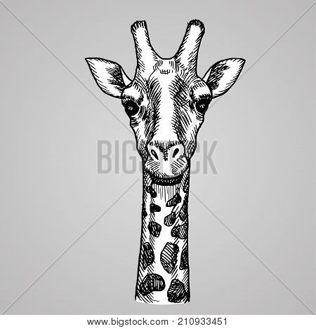 Engraving style giraffe head. African white animal in sketch style. Vector illustration. EPS 10.