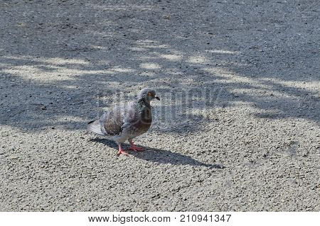 Pigeon Close Up. City Birds.