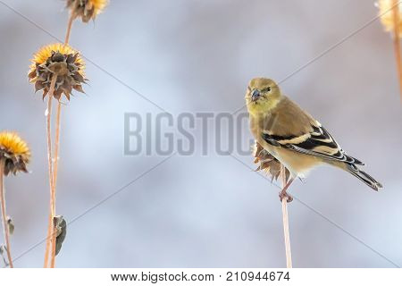 Female American Goldfinch perched on a thistle stem looking for seeds