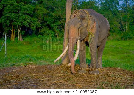 Beautiful elephant chained in a wooden pillar at outdoors, in Chitwan National Park, Nepal, in a nature background, animal cruelty concept.