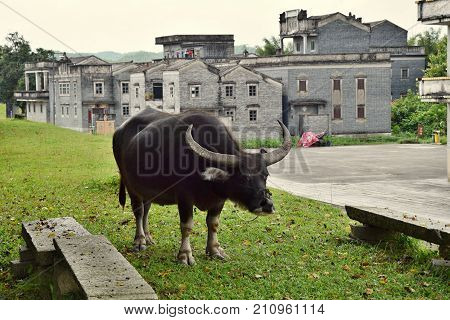 The water buffalo in the frontground of Kaiping Diaolou, the watchtowers, fortified multi-storey towers in Guandong province, in China.
