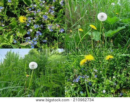 Set of four spring grassy backgrounds with dandelions. Bright yellow sunny dandelions white balloons of dandelion seeds blue fine meadow flowers and juicy green grass