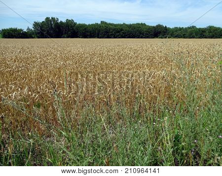 A expansive view of golden wheat fields in Michigan