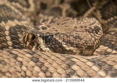 A close-up of an eastern diamondback rattlesnake in captivity