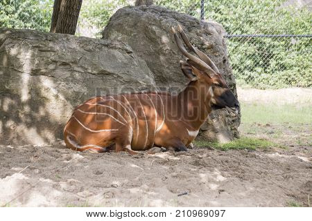 A bongo in captivity relaxing in the shade