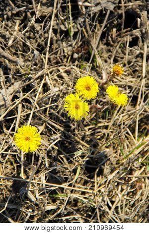 Coltsfoot Flower (tussilago Farfara) On Meadow