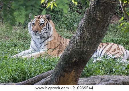 A tiger in captivity casually observing something.