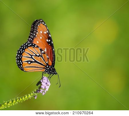 Queen butterfly (Danaus gilippus) feeding on lavender flowers in the autumn garden. Natural green background with copy space.