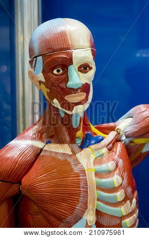 Human internal organs dummy, training dummy, detail of the uscular system. Healthcare concept. Human anatomy