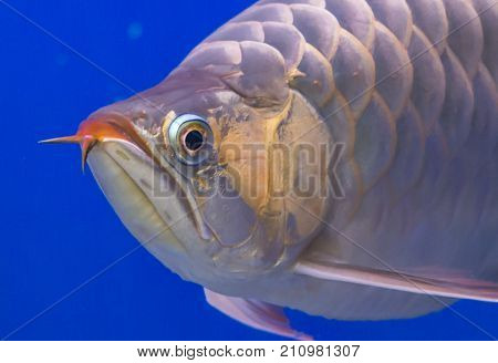 Close up Silver Arowana fish with blue background