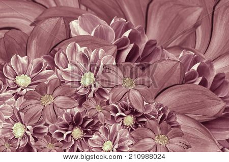 Floral pink-pearl background of flowers of dahlia. Bright flower arrangement. A bouquet of pink dahlias. Nature.