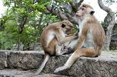 Two wild Sri Lanka monkeys cleaning each other fur poster