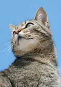 Beautiful elegant gray tabby cat against blue sky poster