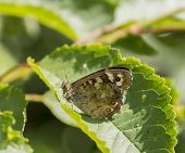 outdoor shot of a Speckled wood butterfly resting on a green leaf in sunny ambiance poster
