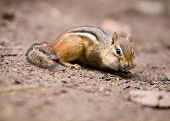 A chipmunk with his cheeks bulging from seeds he is eating off the ground. Shallow depth of field with focus on eye. poster