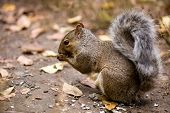 Full body portrait of a gray squirrel eating seed from the ground. poster