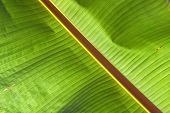 Close up of a backlit banana leaf. poster