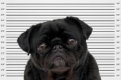 A mug shot of a black pug poster
