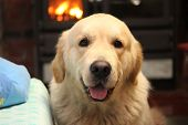 Golden retriever sitting by the fireside. Our pets. poster