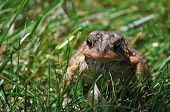 A toad sitting in te grass soaking in the sun poster