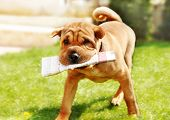 adorable shar pei dog carrying newspaper over green natural background outdoor poster
