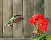 Female ruby-throated hummingbird Archilochus colubris hovering next to a red geranium poster
