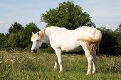 A humorous photograph of a white horse standing in evening light in a spring paddock amongst wild flowers looking back with its mouth open in a parody of human talking or laughter poster