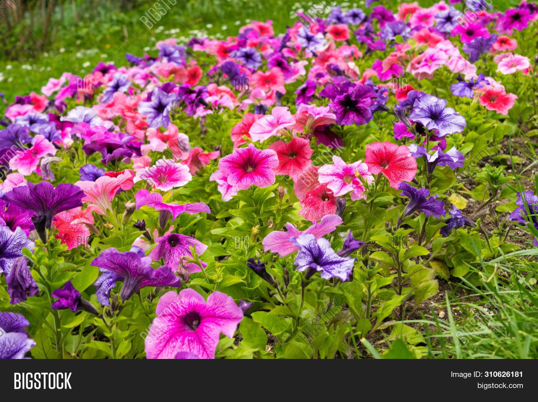 Colorful Petunia Image Photo Free Trial Bigstock