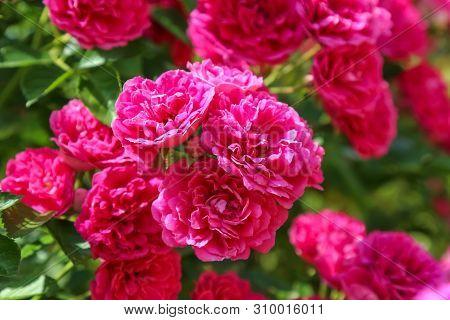 The Excelsa Rose, Bush Climbing Flower, Close Up