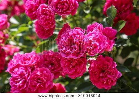 Bush Pink Rose Close-up In Summer, Excelsa Rose