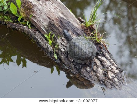 European Pond Terrapin