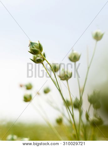 Green Flax (linum Usitatissimum, Common Flax Or Linseed) Capsules Ripening In The Flax Field.