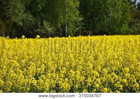 Blossom Rapeseed Field In Front Of A Green Forest By Spring Season