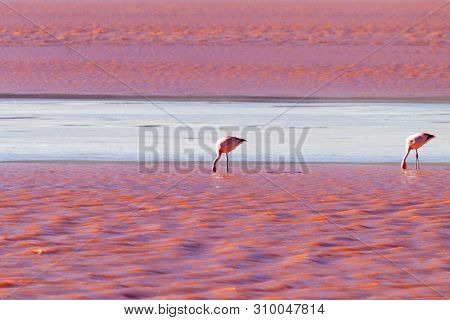 Laguna Colorada Flamingos, Bolivia. Puna Flamingo. Andean Wildlife. Red Lagoon