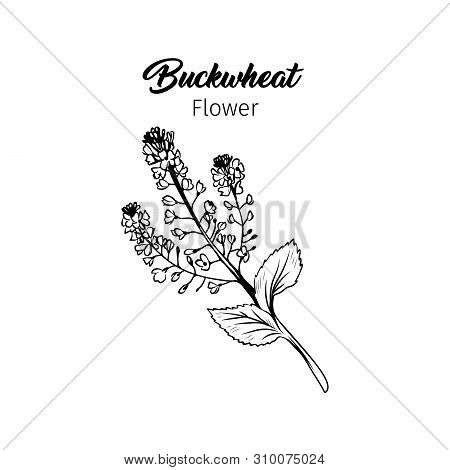Buckwheat Blossom Black And White Illustration. Blooming Cereal, Honey Plant Freehand Sketch With Ca