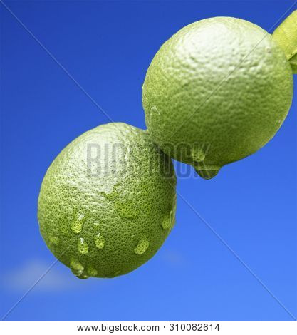 Two Unripe Oranges After The Rain On A Blue Background