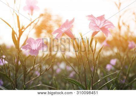 Purple Ruellia Tuberosa Flower In Nature Garden