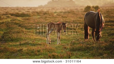 Mare and foal of New Forest pony grazing in landscape lit by warm sunrise poster