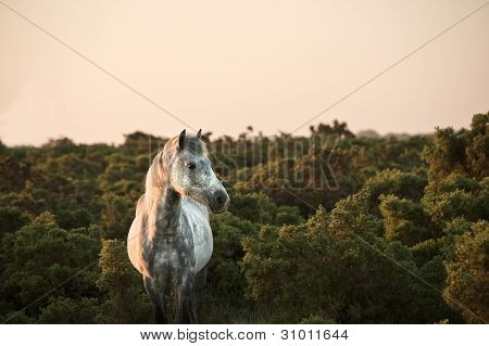 Close up of New Forest pony bathed in warm glowing sunrise sunlight in landscape poster