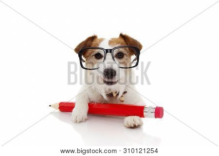 Back To School  Concept. Funny Dog With A Giant Red Pencil Ang Glasses. Isolated On White Background