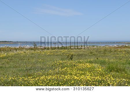 Yellow Blossom Flowers In A Coastal Landscape By The Coast Of The Baltic Sea At The Island Oland In