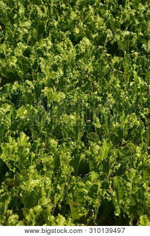 Detail Shot Of Growing Sugar Beet Or Beta Vulgaris Plants In A Large Field At Summer In Bavaria, Roo