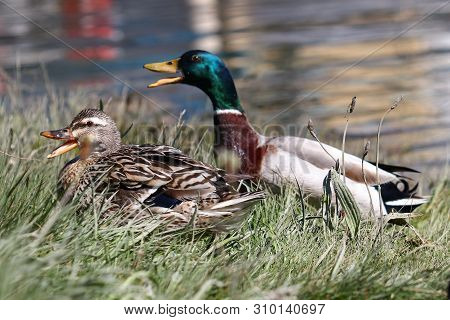 A Male And Female Mallard Duck Quacking To Defend Their Territory