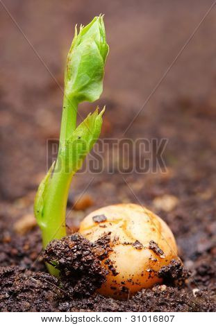 Young seedling of a peas (Pisum sativum) growing in a soil. Peas are high in fiber, protein, vitamins, minerals, and lutein. poster