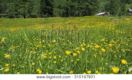 Ranunculus Acris - Meadow Buttercup, Tall Buttercup, Common Buttercup, Giant Buttercup, Butterblume,