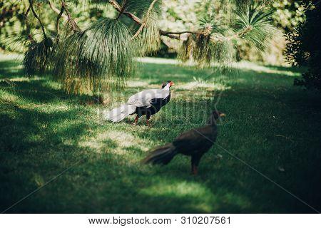 Beautiful Pheasants Walking In Sunny Botanical Garden, On Borromean Islands On Lago Maggiore, Stresa